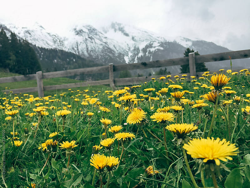 Mountain meadow with yellow wild flowers by Soren Egeberg for Stocksy United