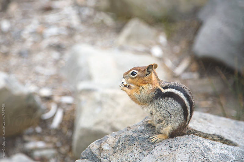 Ground squirrel  by Amy Covington for Stocksy United