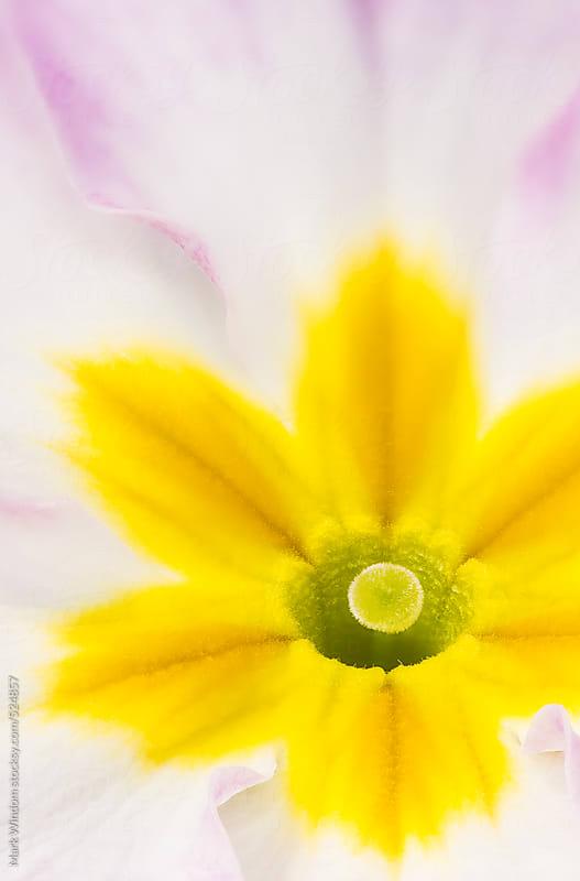 Primrose blossom, closeup by Mark Windom for Stocksy United