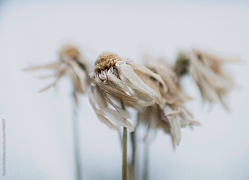 windswept dried daisy flowers  by Rachel Bellinsky for Stocksy United