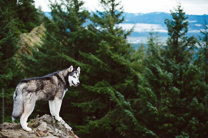 Large Husky dog on mountain cliff  by Kate Daigneault for Stocksy United