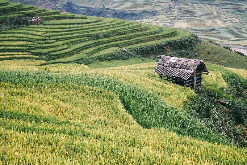 Wood hut on green and yellow rice fields in Sapa, Vietnam by Alejandro Moreno de Carlos for Stocksy United