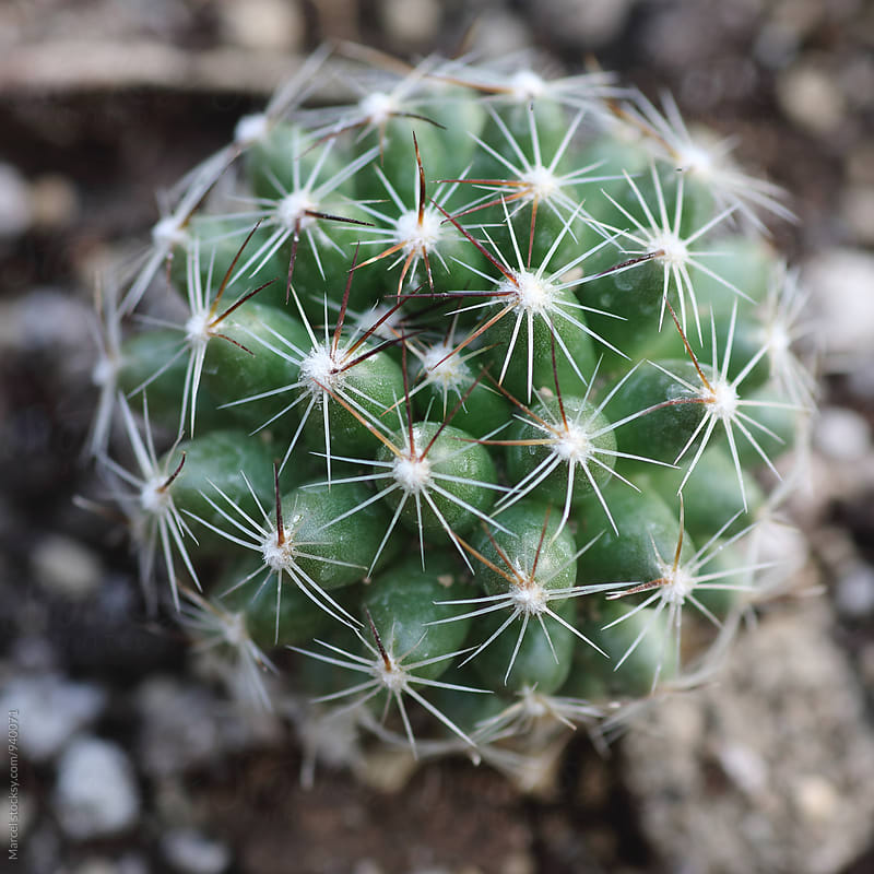 Echinocereus cactus from above by Marcel for Stocksy United