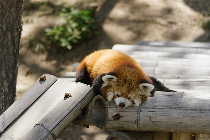 Red panda (firefox) sleeping  by Maa Hoo for Stocksy United