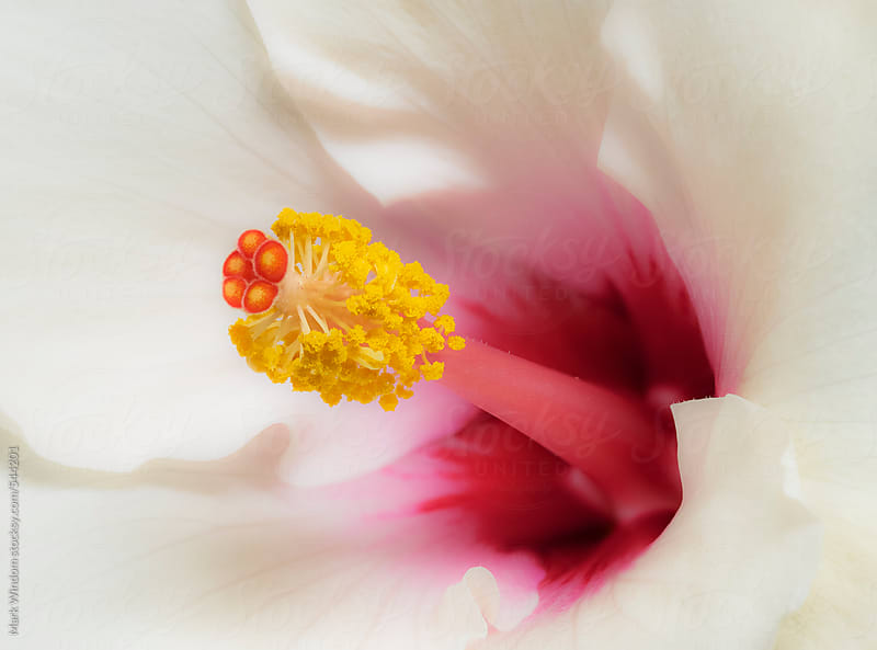 Hibiscus flower, closeup by Mark Windom for Stocksy United
