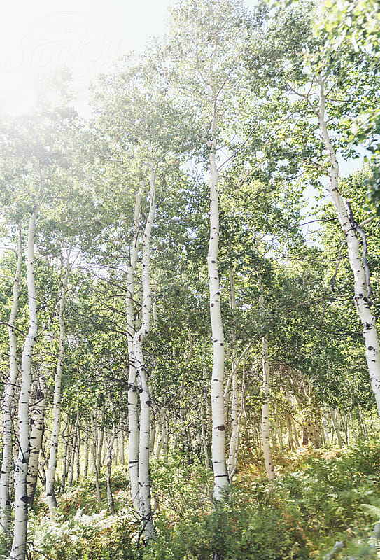 Aspen Trees  by Cameron Whitman for Stocksy United