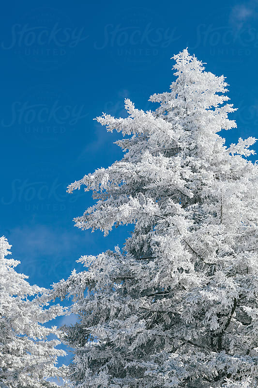 snow covered tree by Kelly Knox for Stocksy United