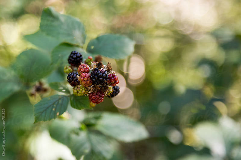 Blackberries growing wild on a bush in the countryside by Kirsty Begg for Stocksy United