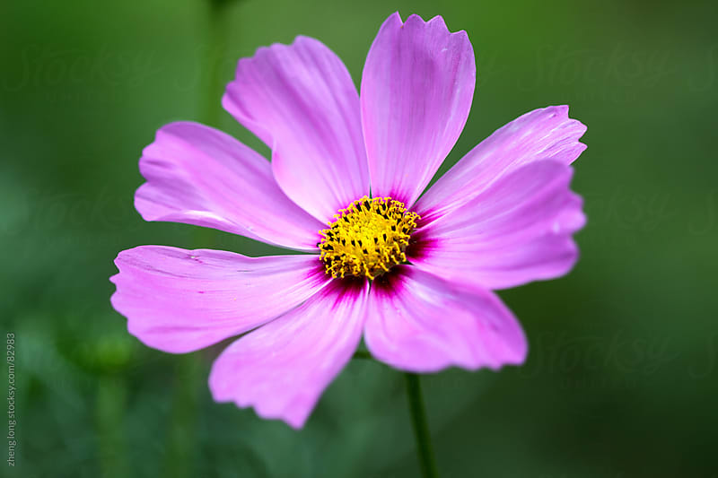 Cosmos bipinnatus by zheng long for Stocksy United