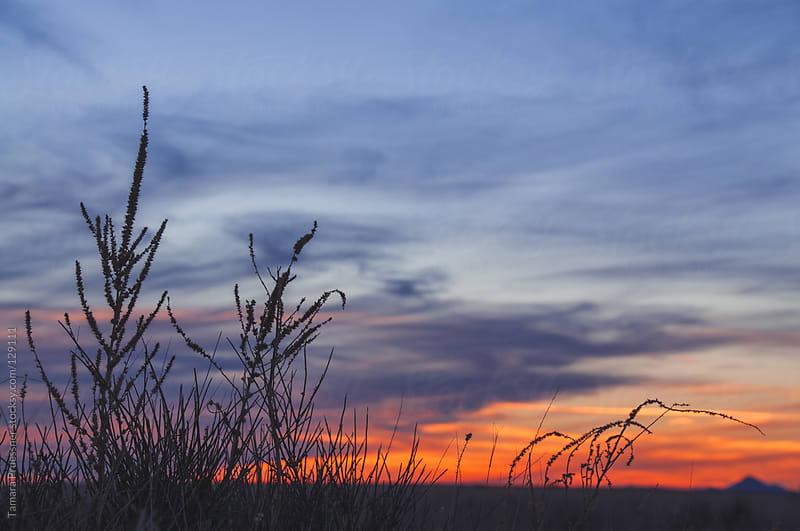 Sunset With Grass Silhouhette by Tamara Pruessner for Stocksy United