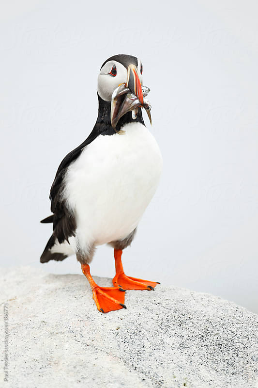 Atlantic Puffin by Paul Tessier for Stocksy United