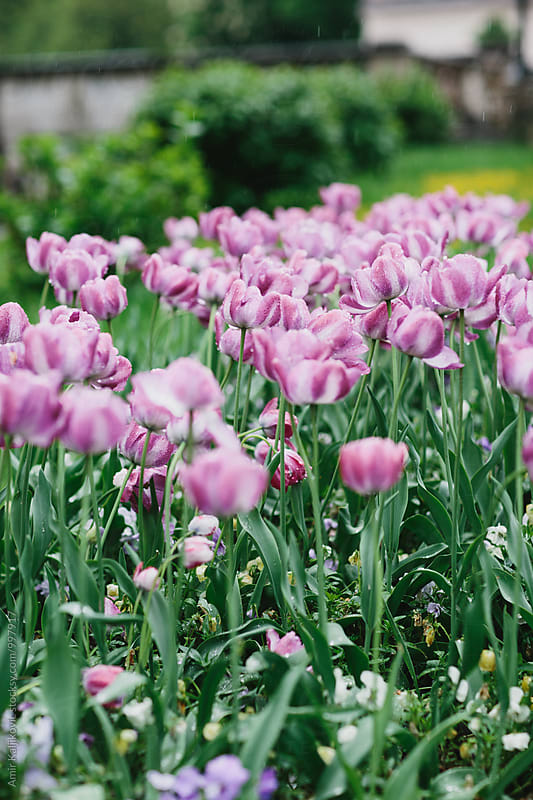 View on beautiful purple tulips by Amir Kaljikovic for Stocksy United