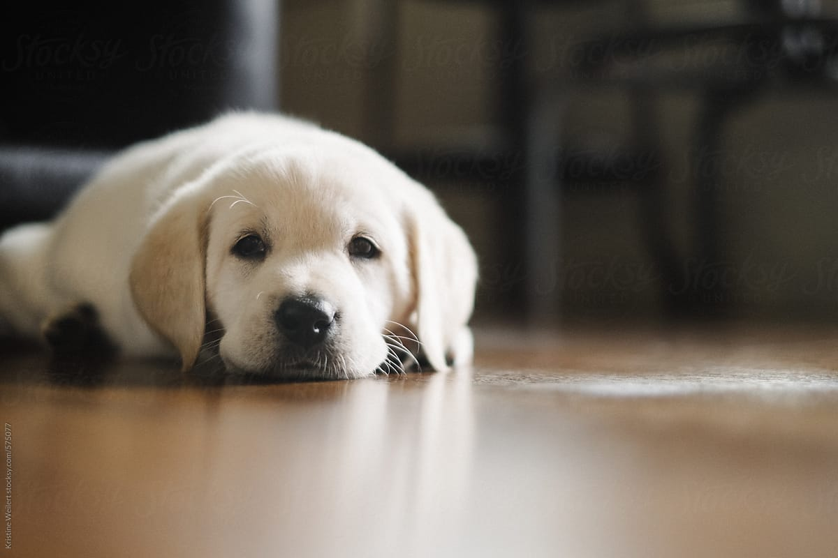 Close Up Of A Cute White Lab Puppies Face Stocksy United