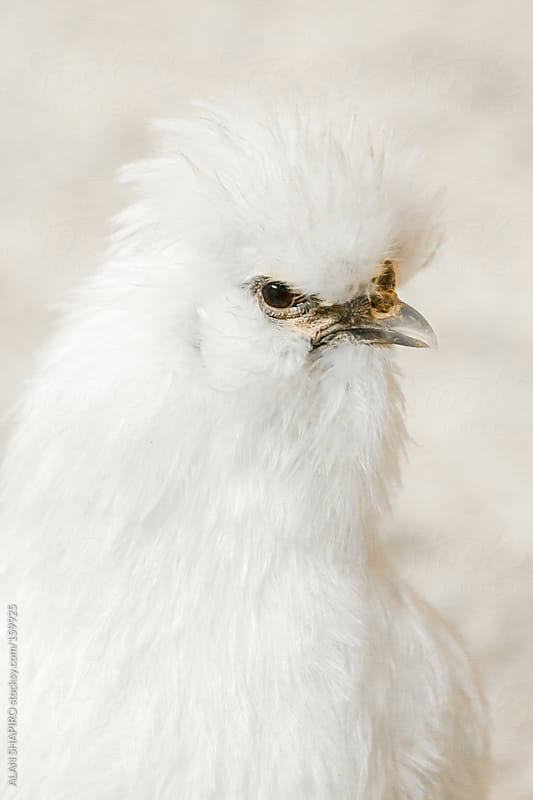 white bearded silkie by ALAN SHAPIRO for Stocksy United