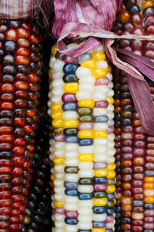Closeup of Indian corn stalks with colorful kernels by Kristin Duvall for Stocksy United