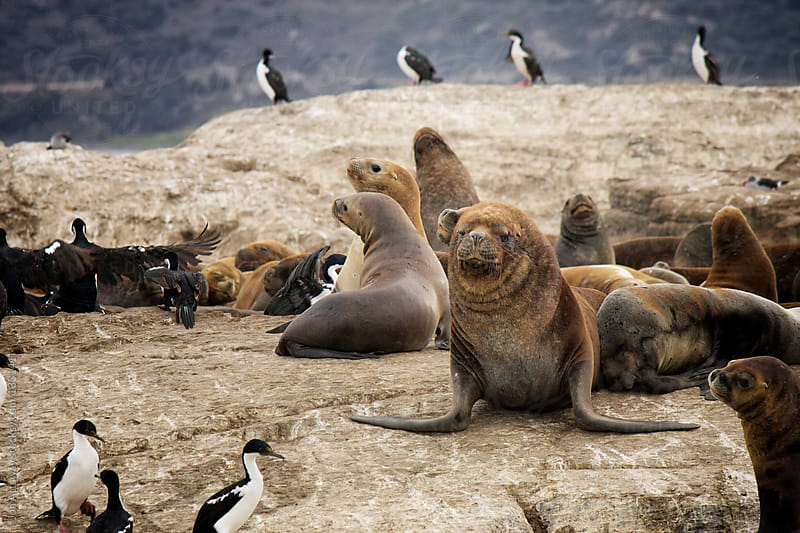 Beagle Channel sea lions by Jon Attaway for Stocksy United