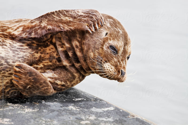 Wild harbor seal resting on pier and scratching his head by Mihael Blikshteyn for Stocksy United