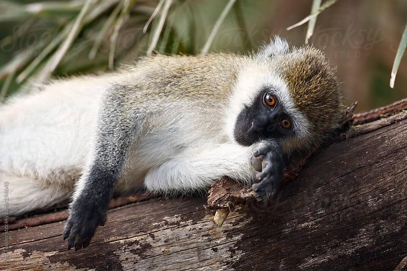 Resting Monkey Africa's Lake Manyara National Park by Paul Tessier for Stocksy United