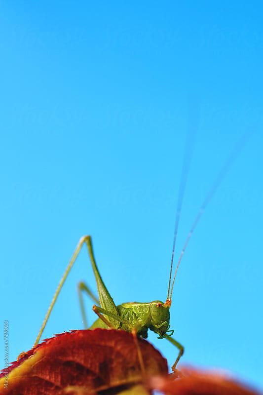 Green grasshopper on rose-branch in studiosetting by Marcel for Stocksy United