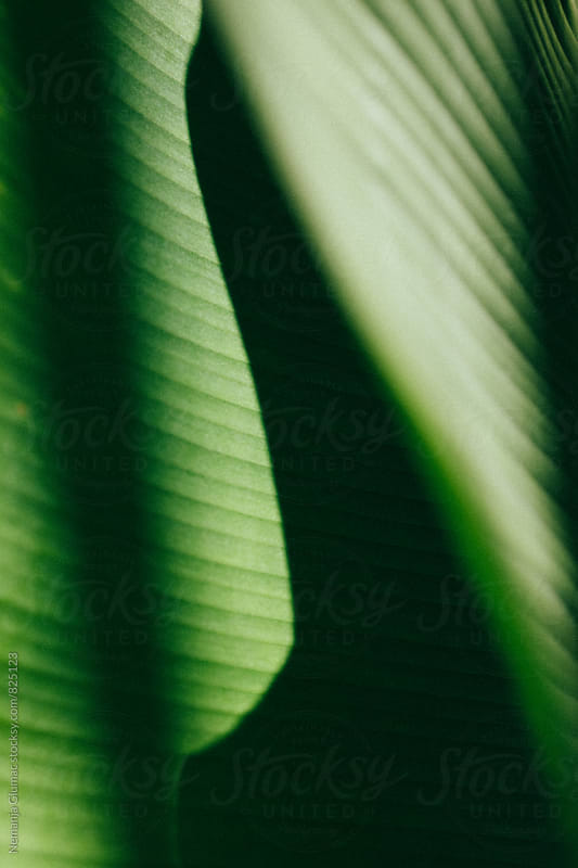 Beautiful Green Leaf Texture With Shadow by Nemanja Glumac for Stocksy United