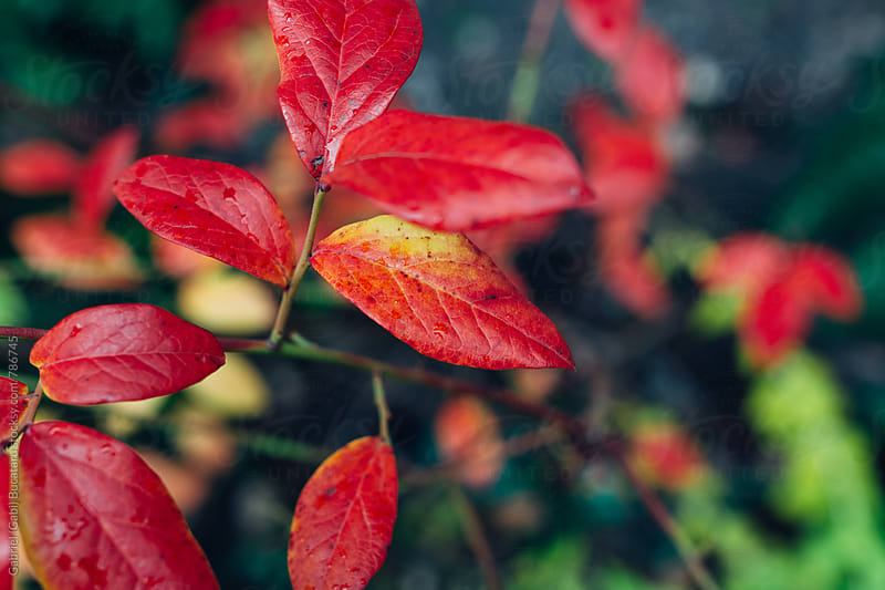 Bright red fall leaves on a plant by Gabriel (Gabi) Bucataru for Stocksy United