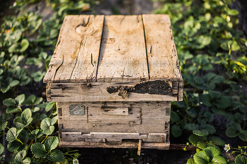 The bee box in the strawberry garden by Miss Rein for Stocksy United