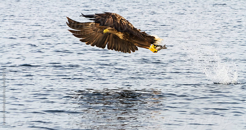 A white-tailed eagle with a fish in its claws by Jonatan Hedberg for Stocksy United
