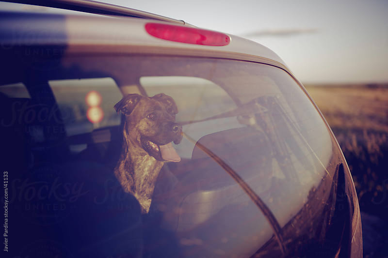 my adorable dog waiting in the car by Javier Pardina for Stocksy United
