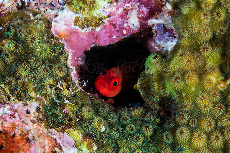 Red goby fish hide in the hole by Song Heming for Stocksy United