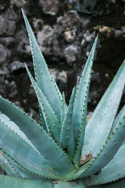 Agave You by Justine Di Fede for Stocksy United