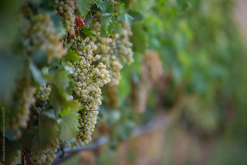 Grapes on the vine by Helen Sotiriadis for Stocksy United