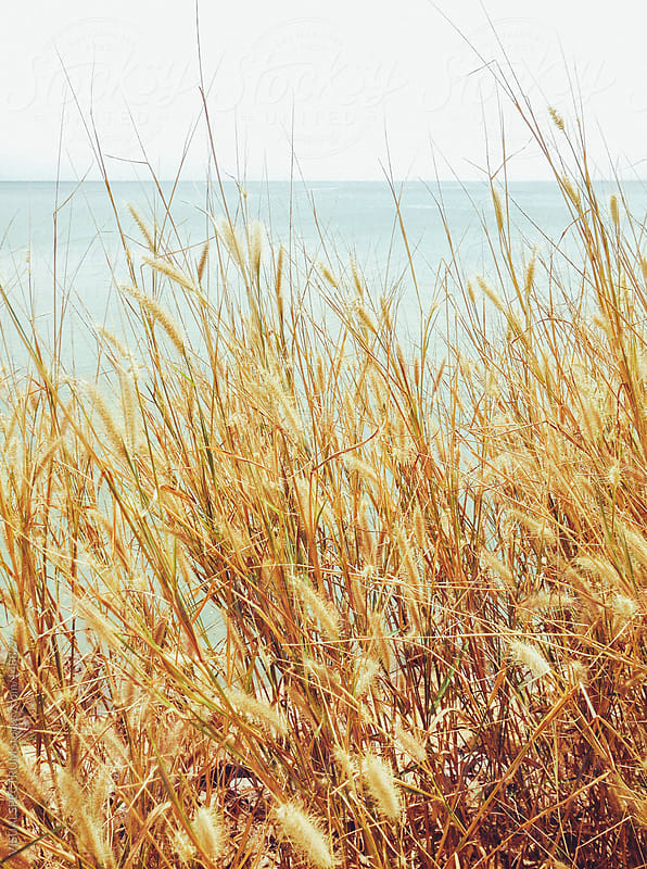 Golden Grass By The Sea by VISUALSPECTRUM for Stocksy United