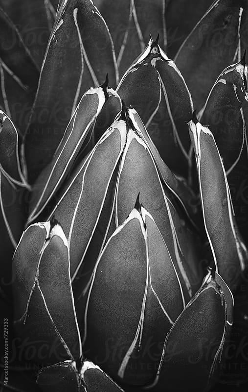 agave victoriae reginae by Marcel for Stocksy United