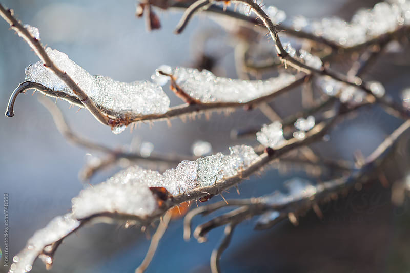 Tree Branches Covered in Ice by Mosuno for Stocksy United