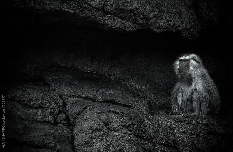 Baboon on ledge by ALAN SHAPIRO for Stocksy United