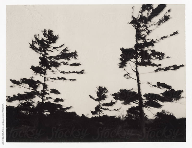 Coastal Pine Trees Photographed On Expired Polaroid Chocolate Film by ALICIA BOCK for Stocksy United