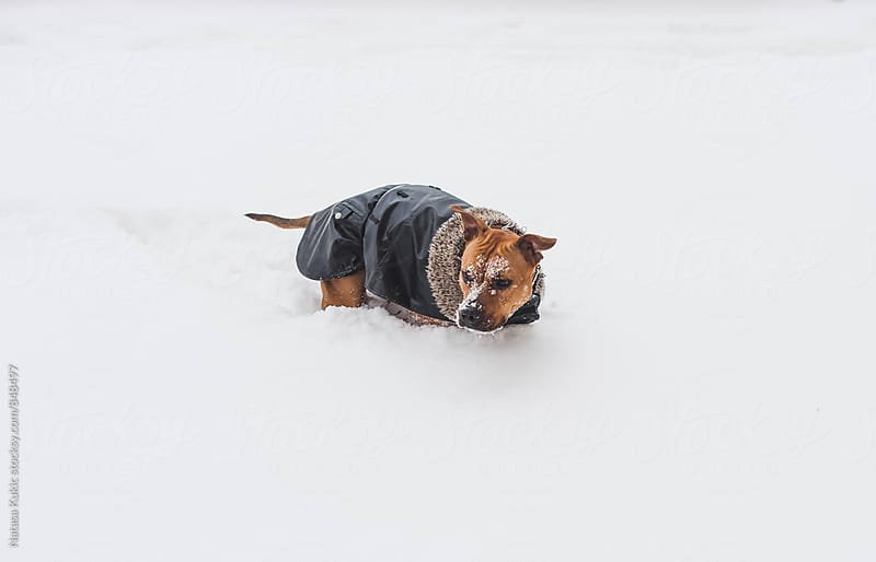 A dog in the snow by Natasa Kukic for Stocksy United