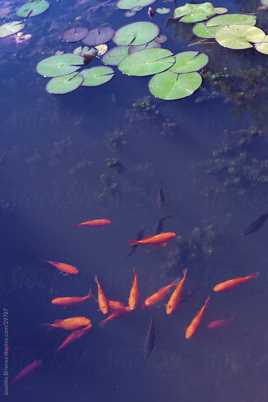 Goldfish in a Pond by Joselito Briones for Stocksy United