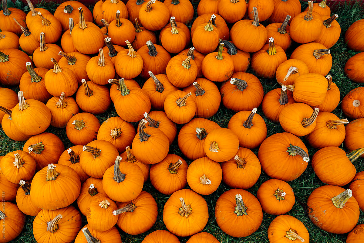 small pumpkins for halloween piled up stocksy united