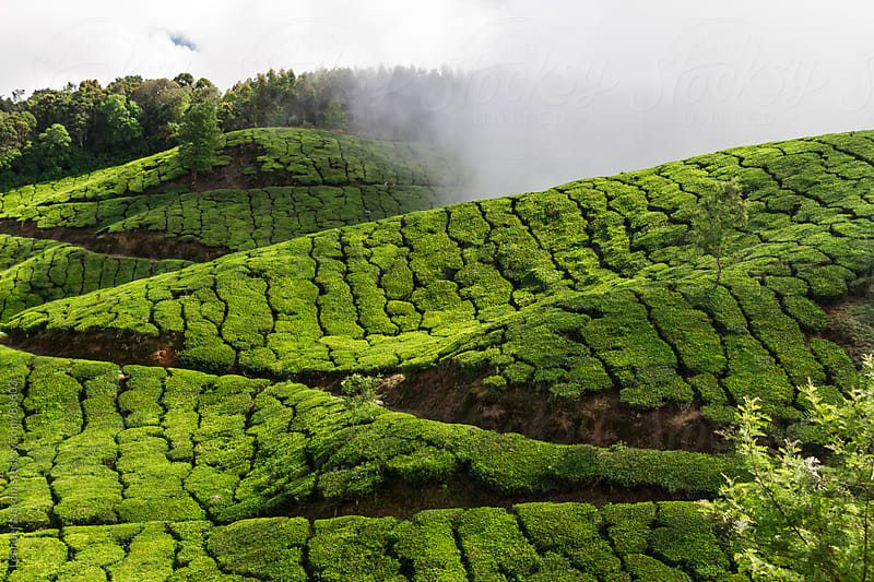 Tea plantation by Leander Nardin for Stocksy United