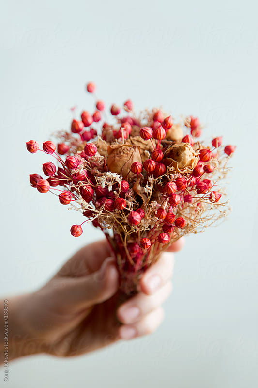red christmas decoration flowers in hand by Sonja Lekovic for Stocksy United