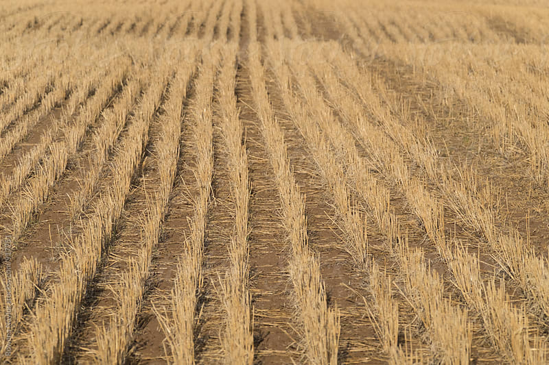 Golden wheatbelt after harvest by Rowena Naylor for Stocksy United