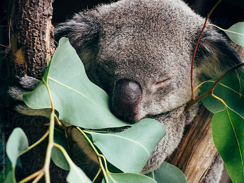 sleepy koala on a eucalyptus tree by Juri Pozzi for Stocksy United