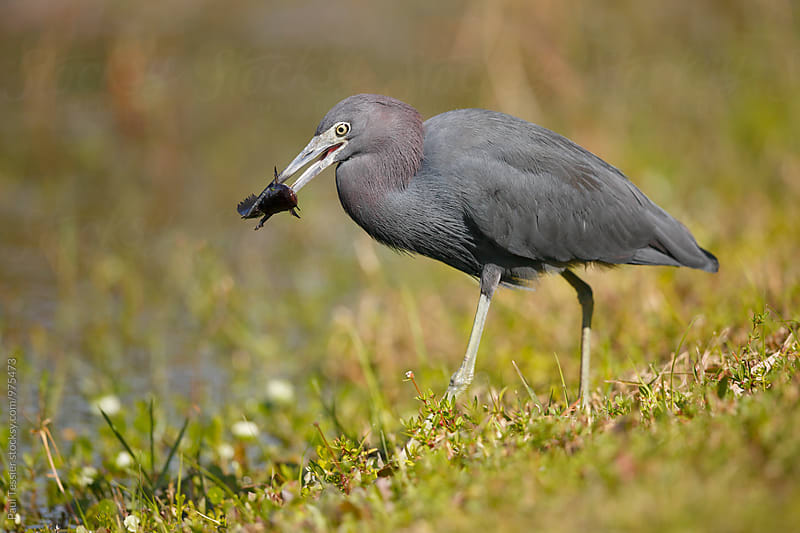 Little Blue Heron with Fish by Paul Tessier for Stocksy United