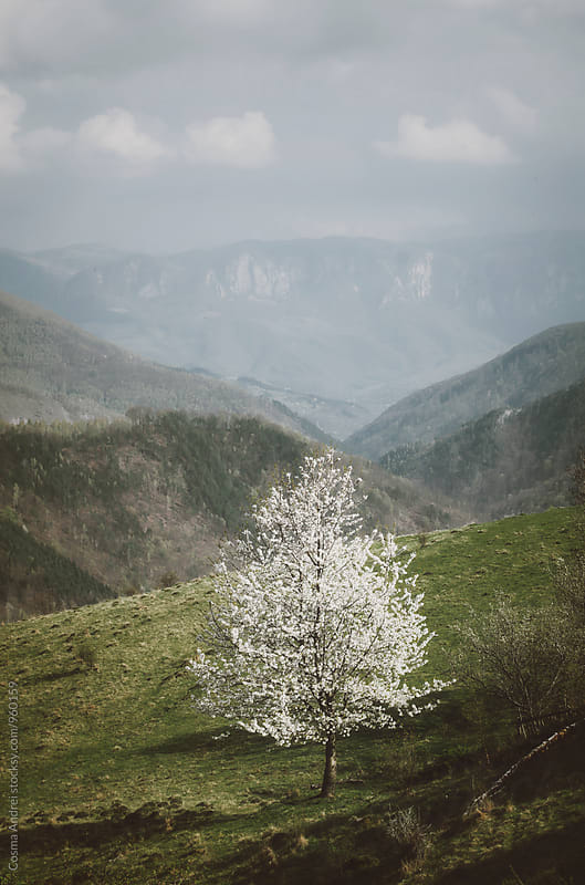 White tree in bloom in spring by Cosma Andrei for Stocksy United
