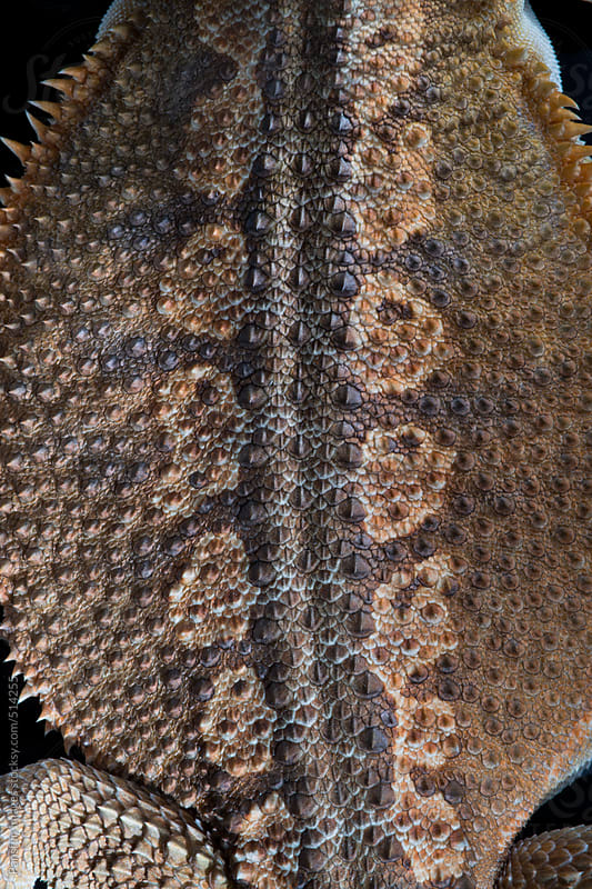 inland bearded dragon's skin texture by Pansfun Images for Stocksy United