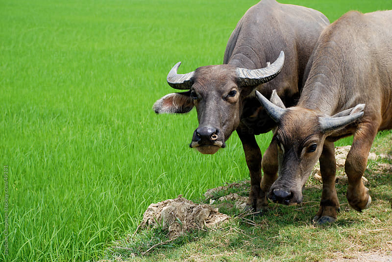Two water buffalo with big horns working along side a green rice field, Vietnam by Jaydene Chapman for Stocksy United