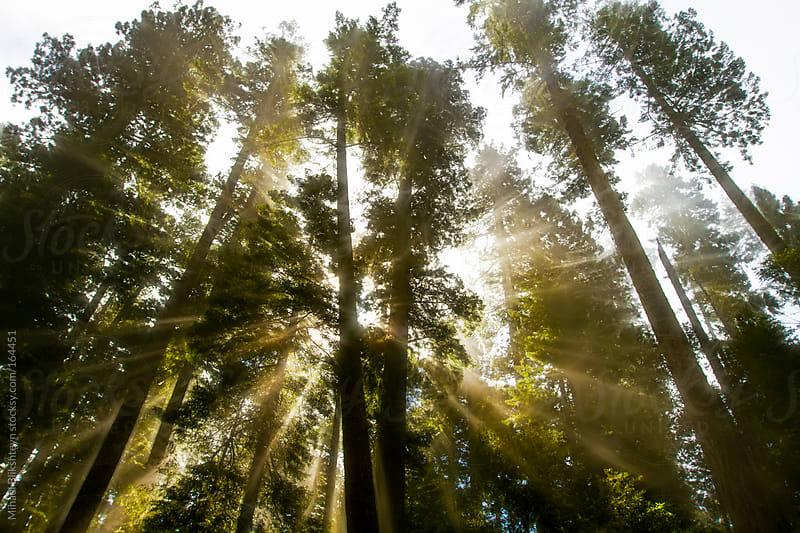 Sunlight breaking through fog in the Redwood forest by Mihael Blikshteyn for Stocksy United