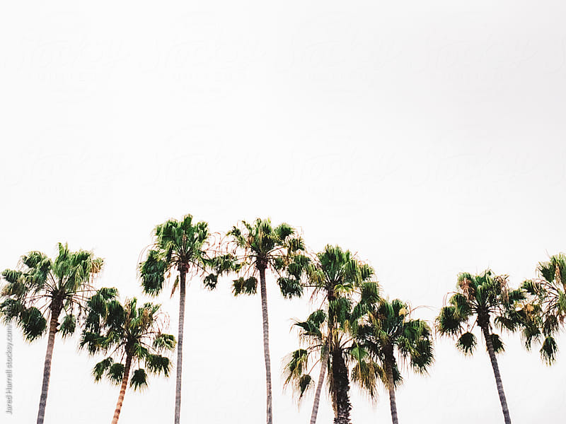 Palm Trees on an Overcast Day in San Clemente, California  by Jared Harrell for Stocksy United