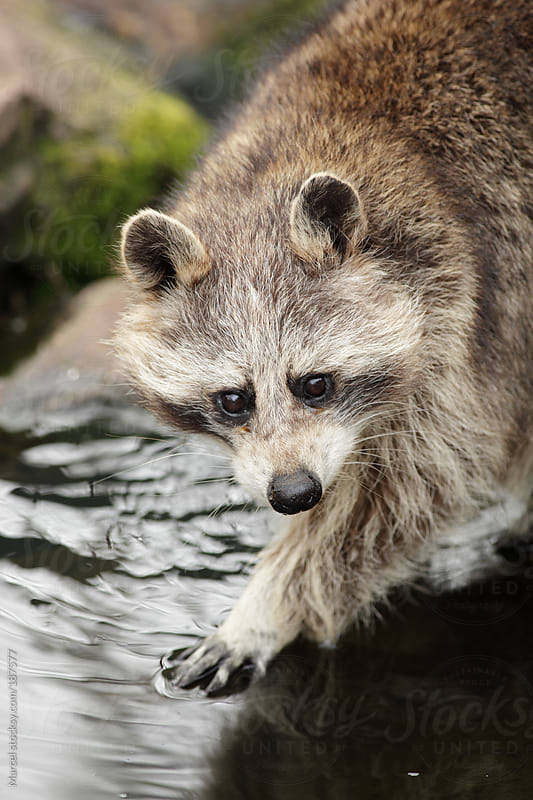 Racoon fishing for food by Marcel for Stocksy United